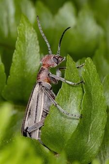 Burning blister beetle of the genus epicauta