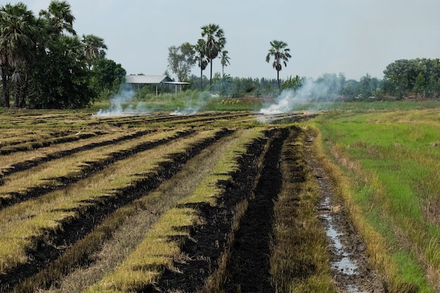 Burning rice stubble in the rice fields after harvesting.