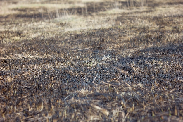 Burnt grass in spring , closeup arson and burned dry grass background.