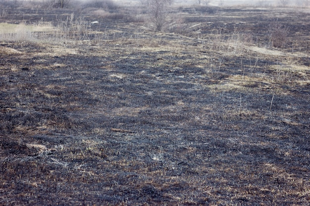 Burnt grass in spring