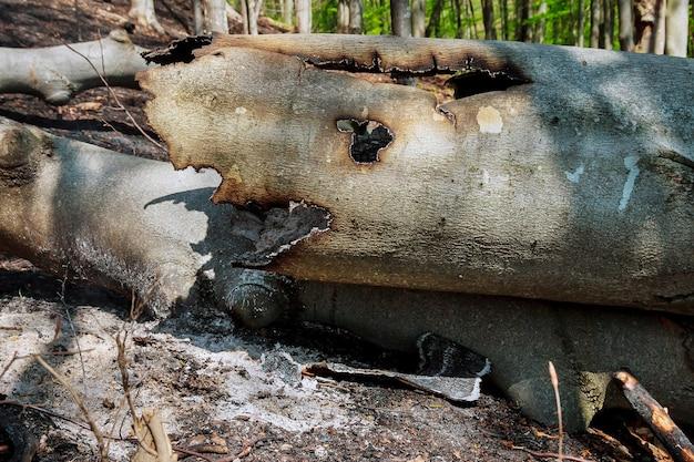 青い空を背景に山火事が発生した後、燃えた木。自然災害。