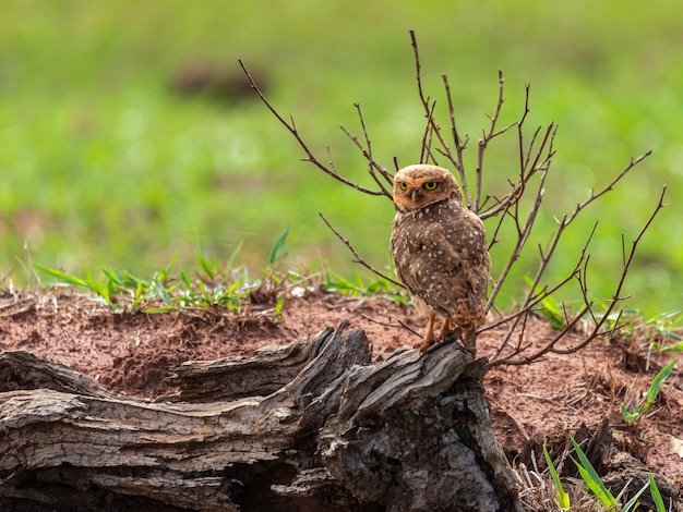 The burrowing owl, also called field caburet
