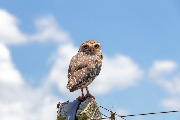 Burrowing owl under clear blue sky with clouds