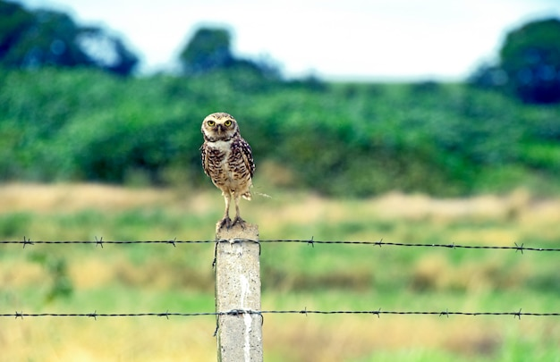 Burrowing owl over fence post in the field Premium Photo