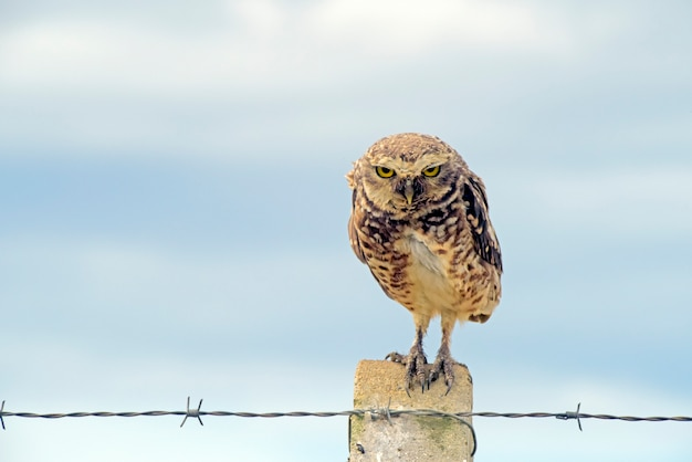 Burrowing owl over fence post in the field