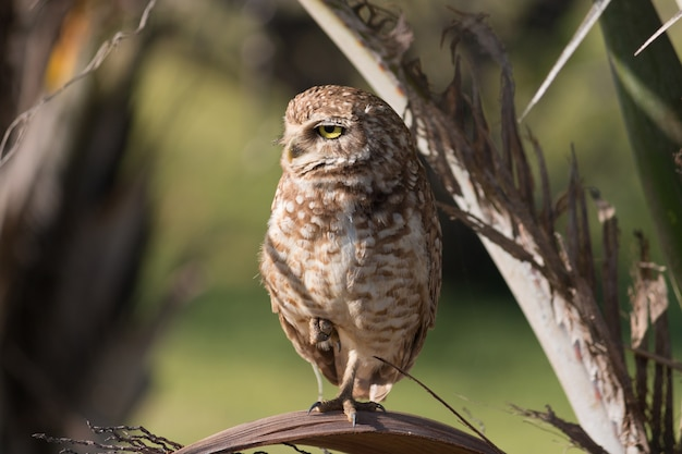 Burrowing owl in its natural habitat close up.