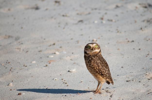 Burrowing owl in its natural habitat.