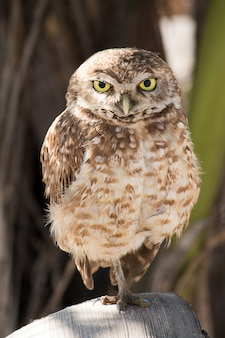 Burrowing owl portrait in its natural habitat.