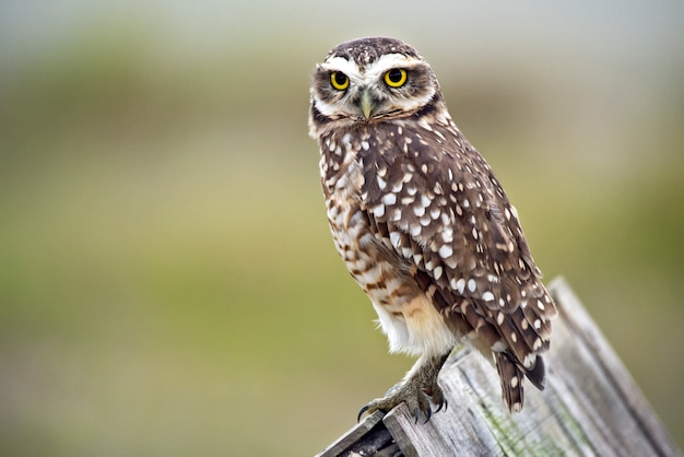 Burrowing owl on wooden roof Premium Photo