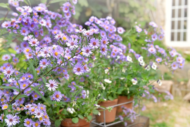 Bush of aster flowers blooming  in the garden of a rural house