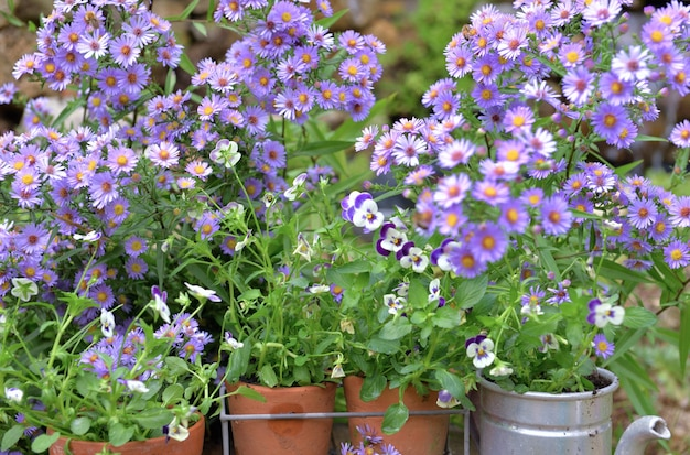 Bush of aster flowers and flower pots  in the garden