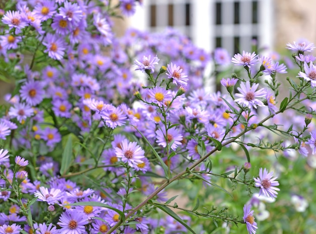 Bush of aster flowersblooming  in the garden of a rural house