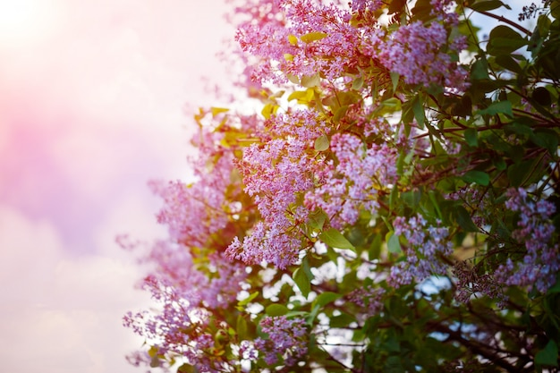 Bush of beautiful purple lilac flowers with the leaves