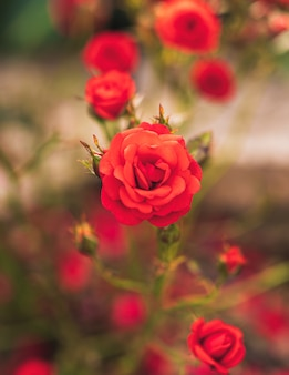 Bush of beautiful red roses in natural light.