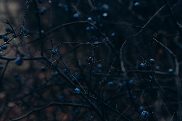 A bush of black thorns with berries at night.