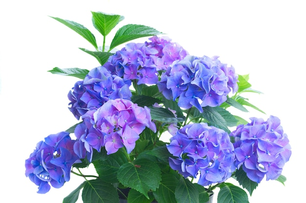 Bush of blue and violet hortensia flowers and leaves isolated on white