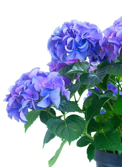 Bush of blue and violet hortensia fresh flowers close up isolated on white