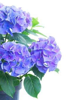Bush of blue and violet hortensia fresh flowers isolated on white
