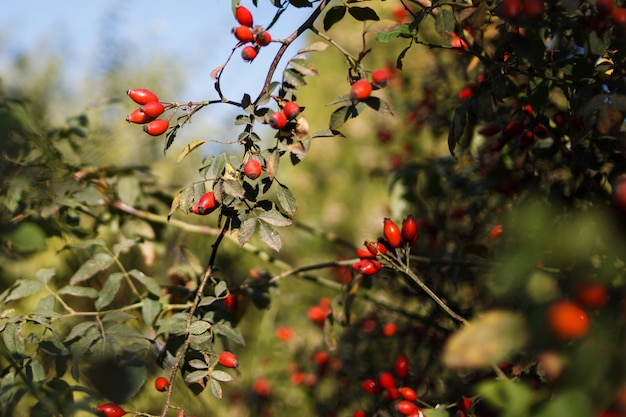 Bush dog-rose with ripe fruit which grows in the wild