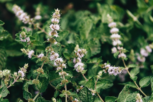 Bush of fragrant mint with inflorescence