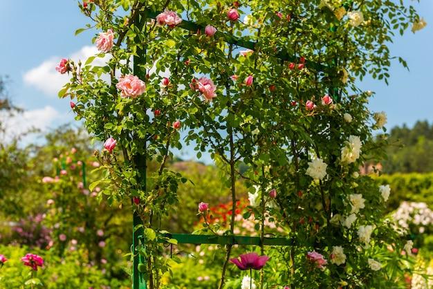 정원에서 아름 다운 등반 장미의 부시입니다. 가로 샷