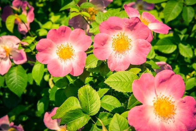 Куст красивых розовых шиповников в саду. отфильтрованный снимок