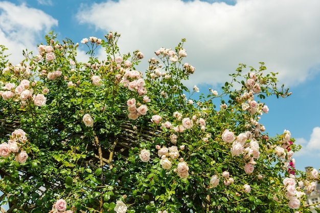 庭の美しいバラの茂み。