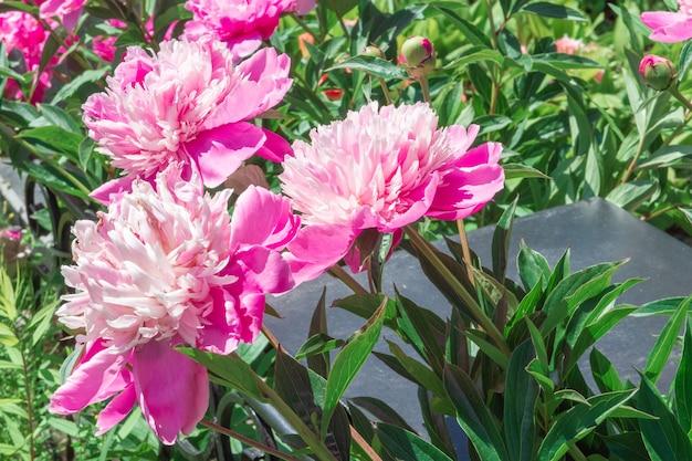 Куст цветущих ярко-розовых китайских пионов