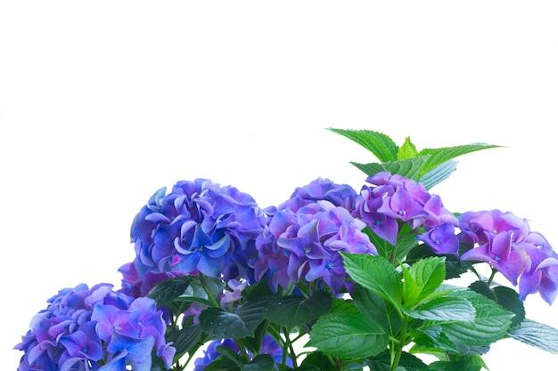 青と紫のオルテンシアの花と白い背景で隔離の葉の茂み