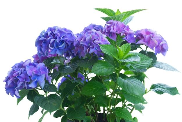 白で隔離される青と紫のアジサイの花の茂み