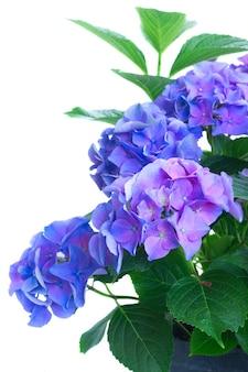 青と紫のオルテンシアの新鮮な花の茂みが白で隔離されてクローズアップ