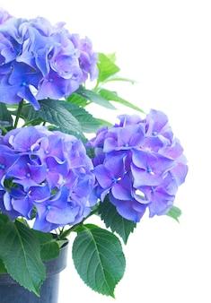 白で隔離される青と紫のオルテンシア生花の茂み