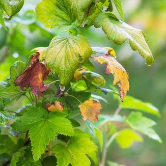 黄色になり始める葉を持つスグリの茂み