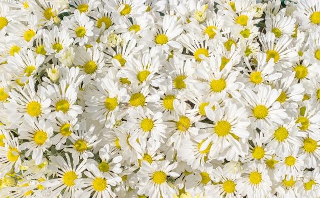 自然の中でデイジーの花の茂み