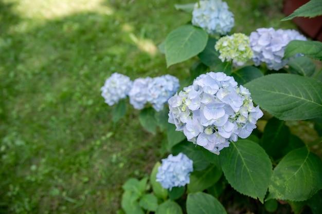 庭に咲く華やかな青いアジサイの花の茂み。公園で育つ多くの青いアジサイの花、花の背景。夏のシーズン。コピースペース