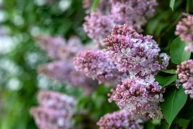 봄 정원에서 보라색 꽃과 만개 라일락의 부시