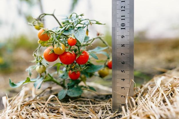 Куст миниатюрных красных спелых помидоров с линейкой