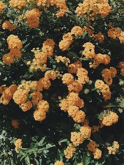 オレンジ色の花と緑の葉の茂み。花の背景やテクスチャ