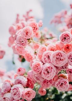庭の淡いピンクのバラの茂み