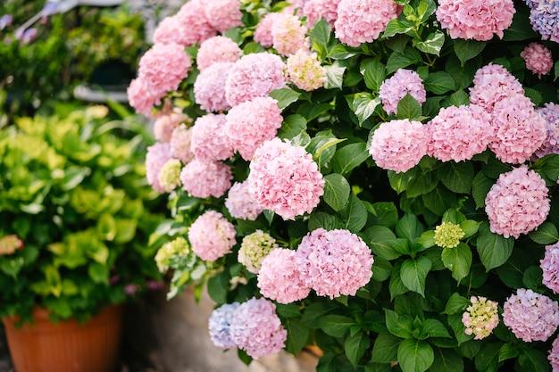 Куст розовых гортензий среди зеленых листьев в саду