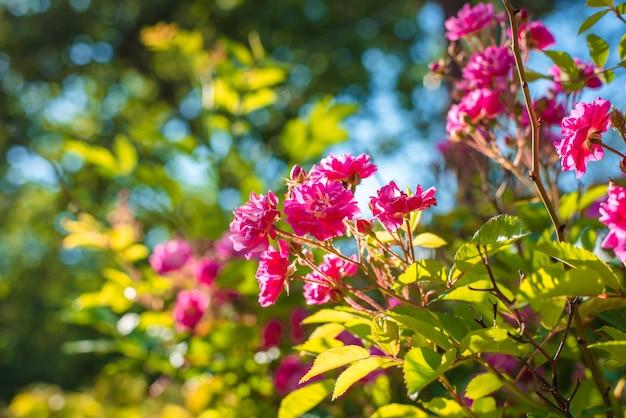 Куст из розовых роз фона