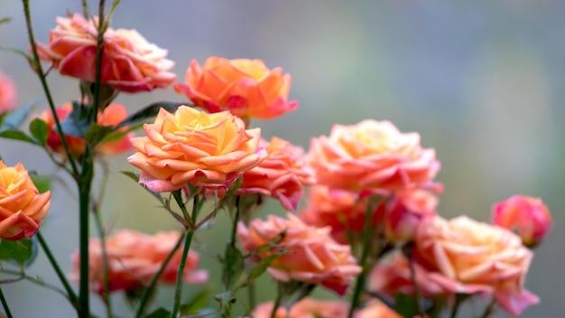 ぼやけた背景にピンクのバラの茂み_