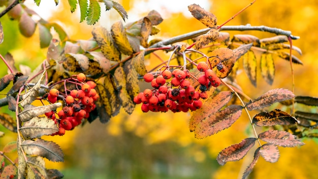 秋に熟したナナカマドの茂み。