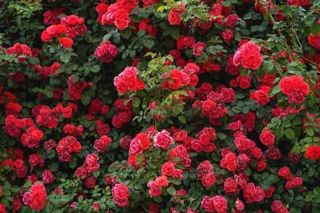 밝은 여름날 장미 덤불
