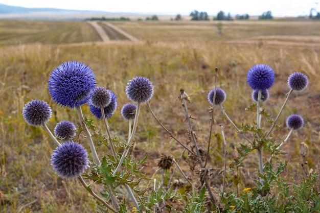 Куст круглых, колючих синих цветов, растущих в степи. селективный акцент на цветы. горизонтальное изображение.