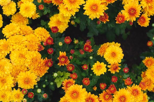 Куст желтых хризантем цветет для концепции весеннего сезона.