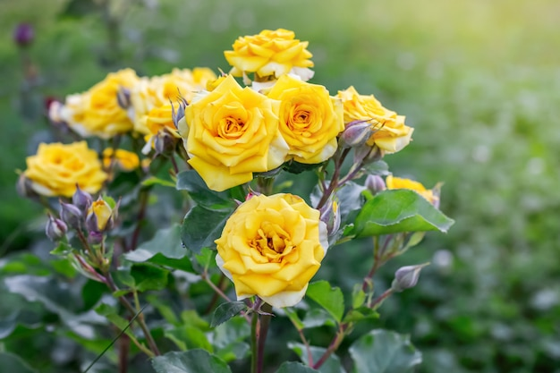 공원에서 화 단의 노란 신선한 장미 덤 불. 꽃 재배 및 판매