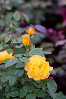 黄色い庭のバラの茂み