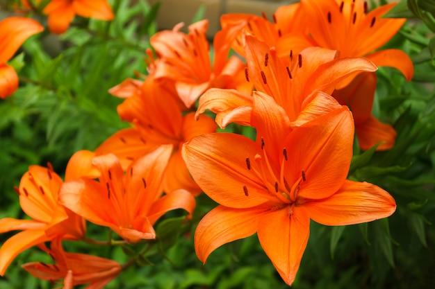 Bush of orange lilies in a summer garden close-up