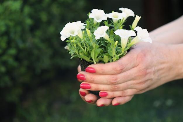 Bush of petty white petunia